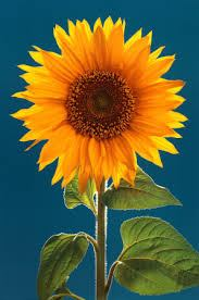 sunflower.sonflower